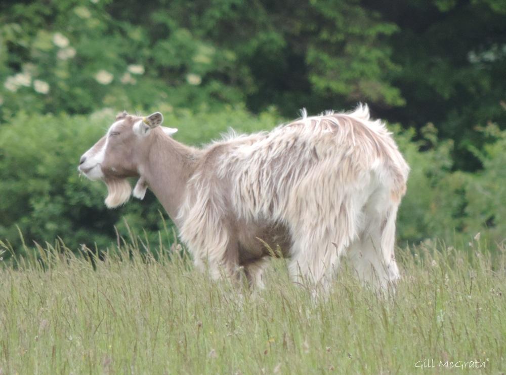 2015 06 17 3 bird goat  jpg sig