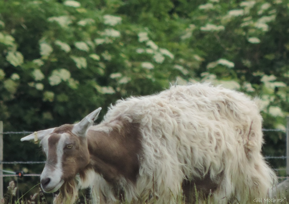 2015 06 17 4 bird goat  jpg sig