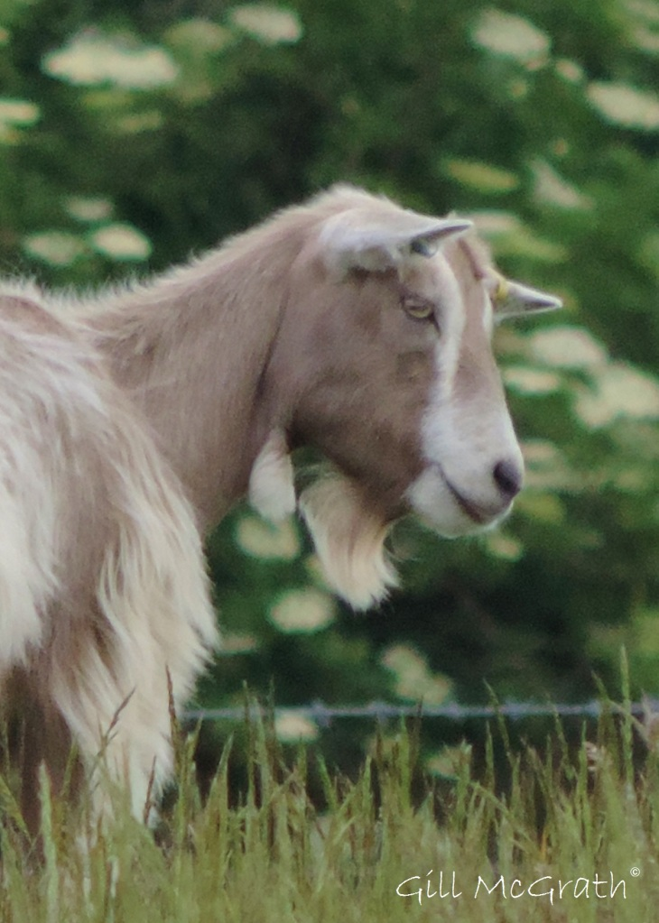 2015 06 17 5 bird goat jpg sig