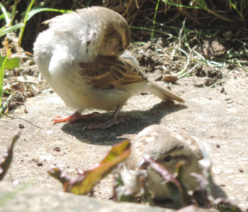 2015 06 18 8 baby  9 birds DSCN1753 jpg sig