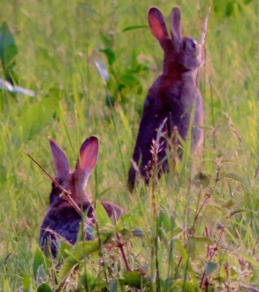 2015 06 20 2023 sunrise set rabbit 2023  DSCN1217 jpg sig