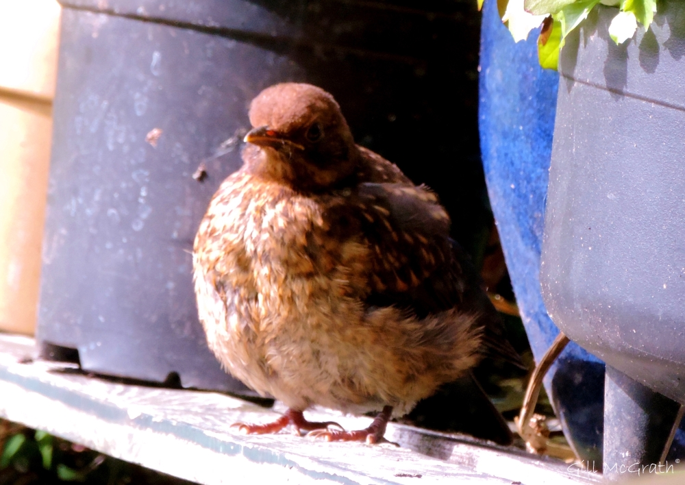 4 2015 06 21 450 1007  baby bird DSCN2361 jpg sig (t)