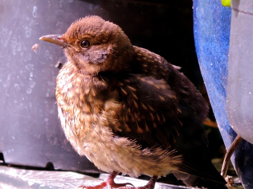 8 2015 06 21 450 1007  baby bird DSCN2363 jpg sig (t)