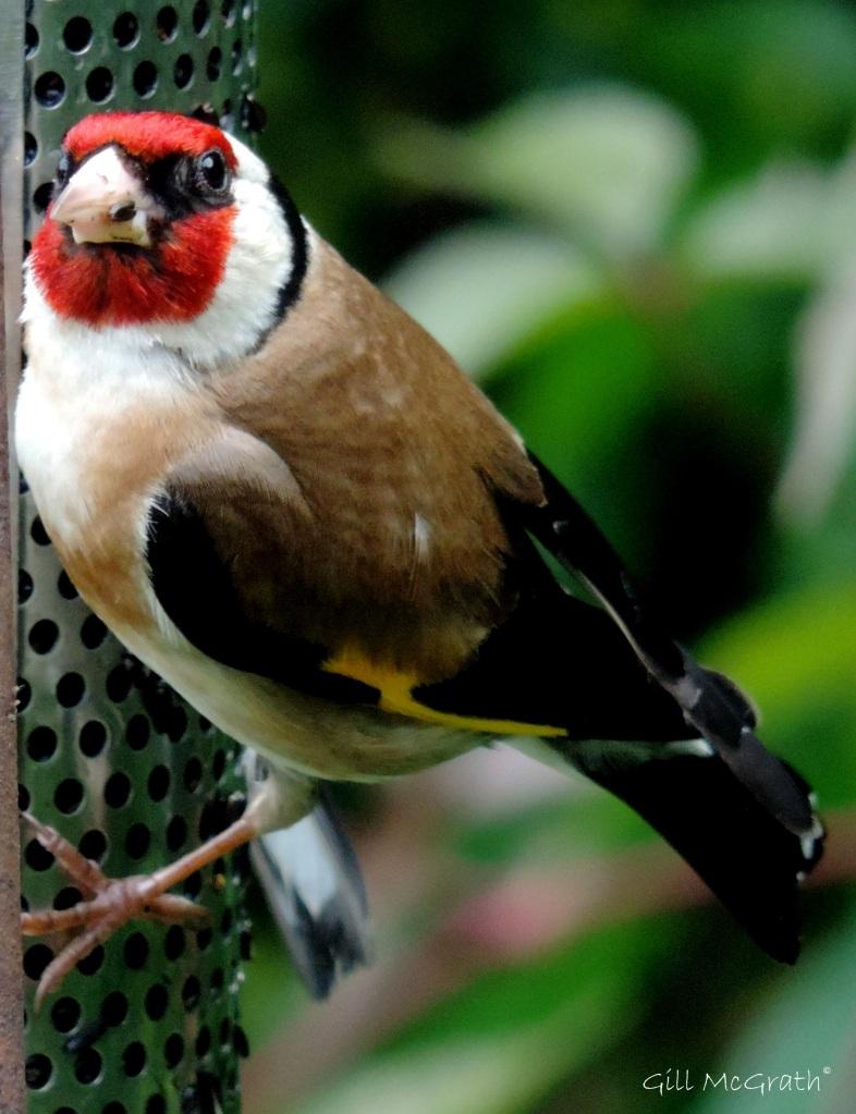 2 2015 07 28 goldfinch 2 DSCN7247 jpg sig