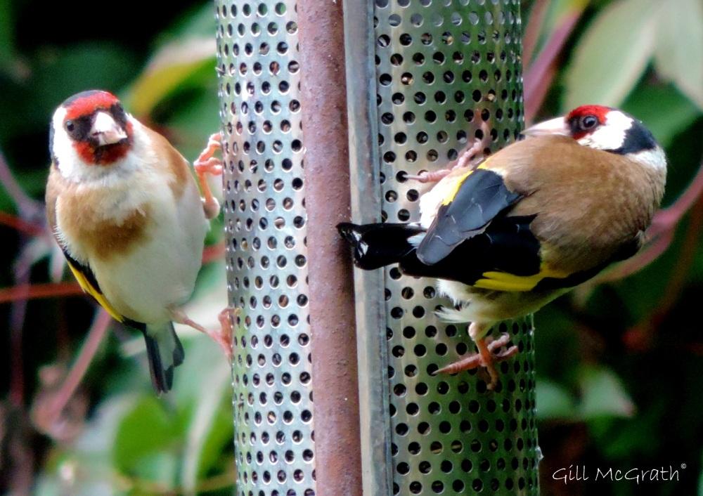 4 2015 07 28 Goldfinch 4 DSCN7325 jpg sig