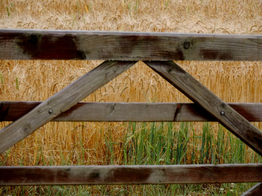 7 2015 07 14  barley DSCN5554 jpg sig