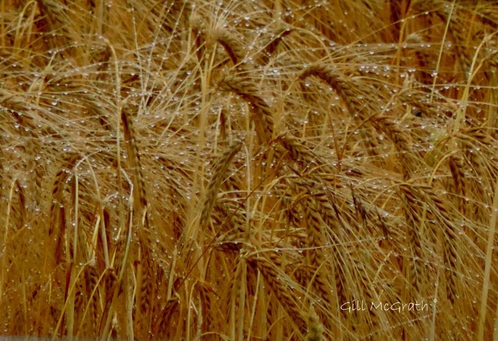 8 2015 07 14 barley  DSCN5559 jpg sig