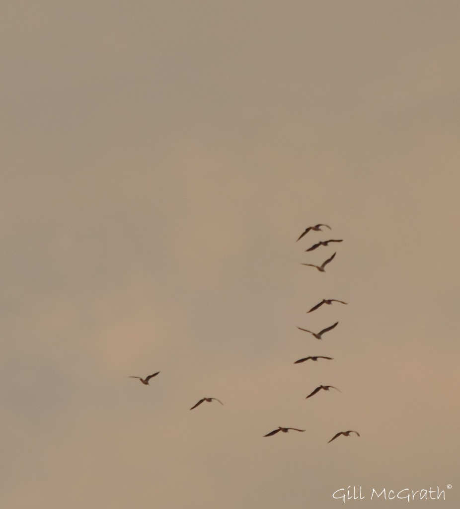 2015 08 15 birds in flight DSCN8518.JPG Sig