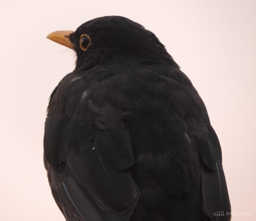 2015 08 15 blackbird DSCN8524.jpg sig