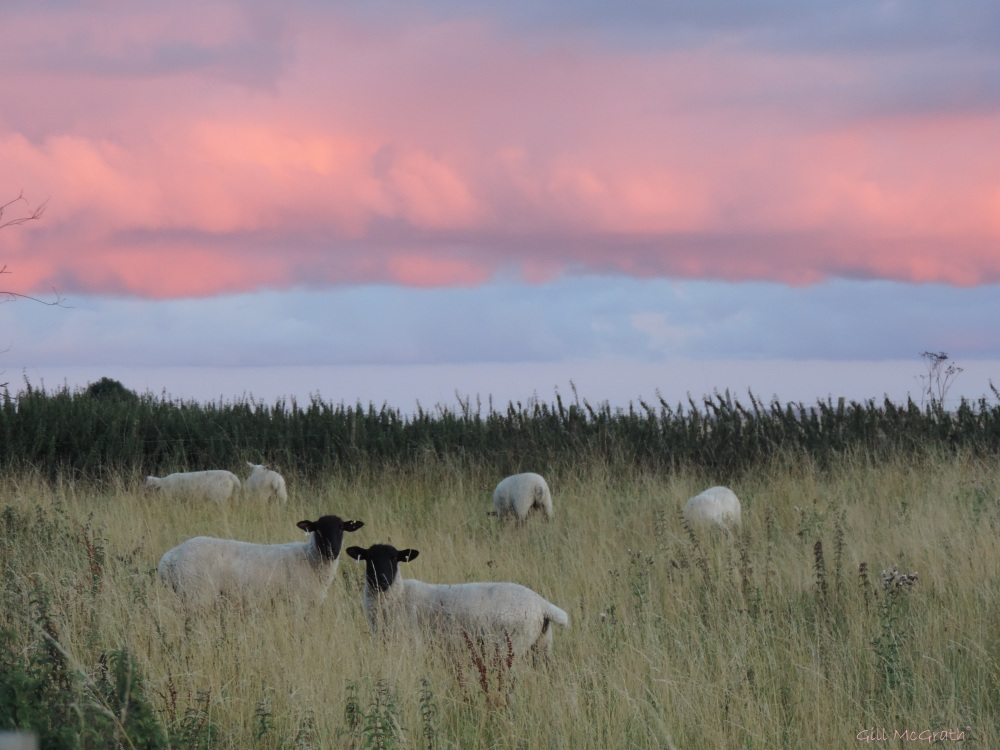 2015 08 23 sheep are clouds DSCN9576.jpg sig