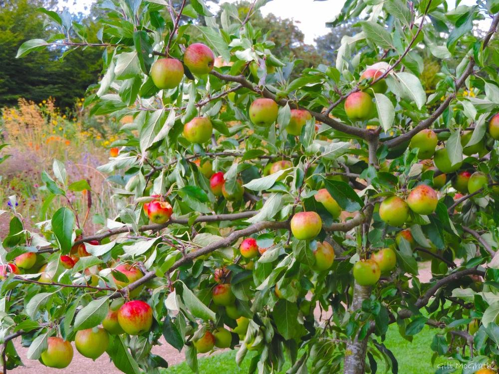 2015 09 07 apples DSCN0992.jpg sig