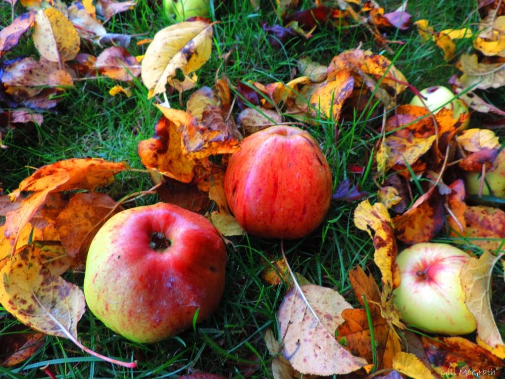 2015 10 30 apples DSCN9076.jpg sig