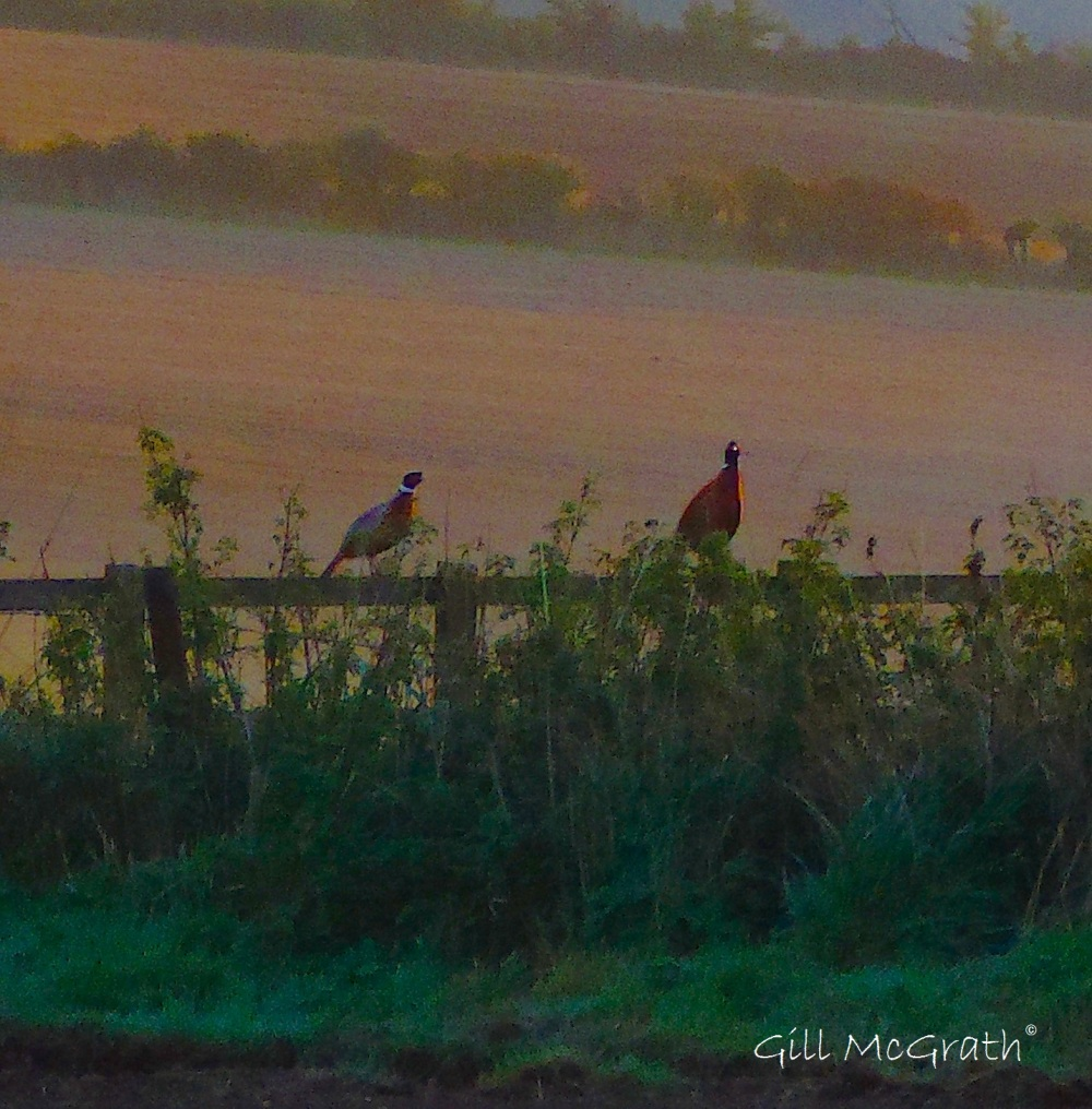 3 2015 10 27  morning pheasants DSCN8576_1.jpg sig