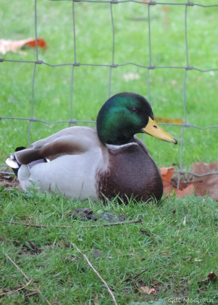 2015 12 01 duck DSCN0501.jpg sig