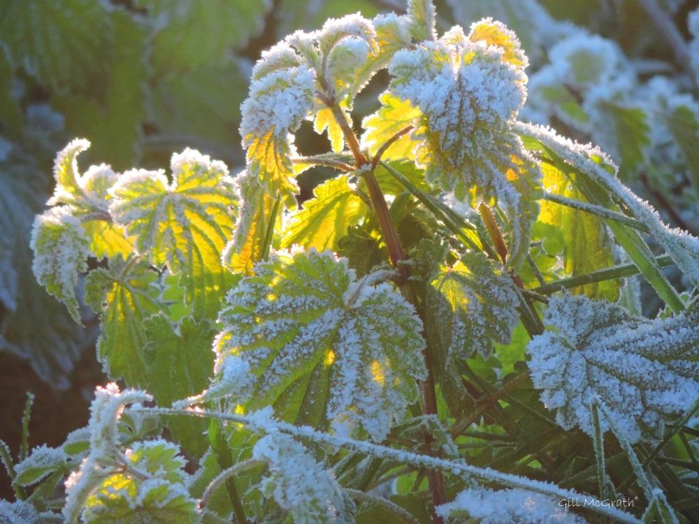 2016 01 20 frost DSCN4356.jpg sig
