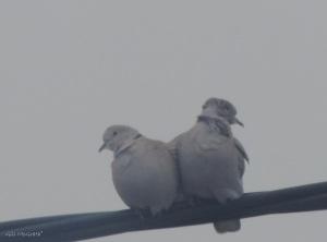 2016 03 19 lovebirds DSCN1918.jpg sig