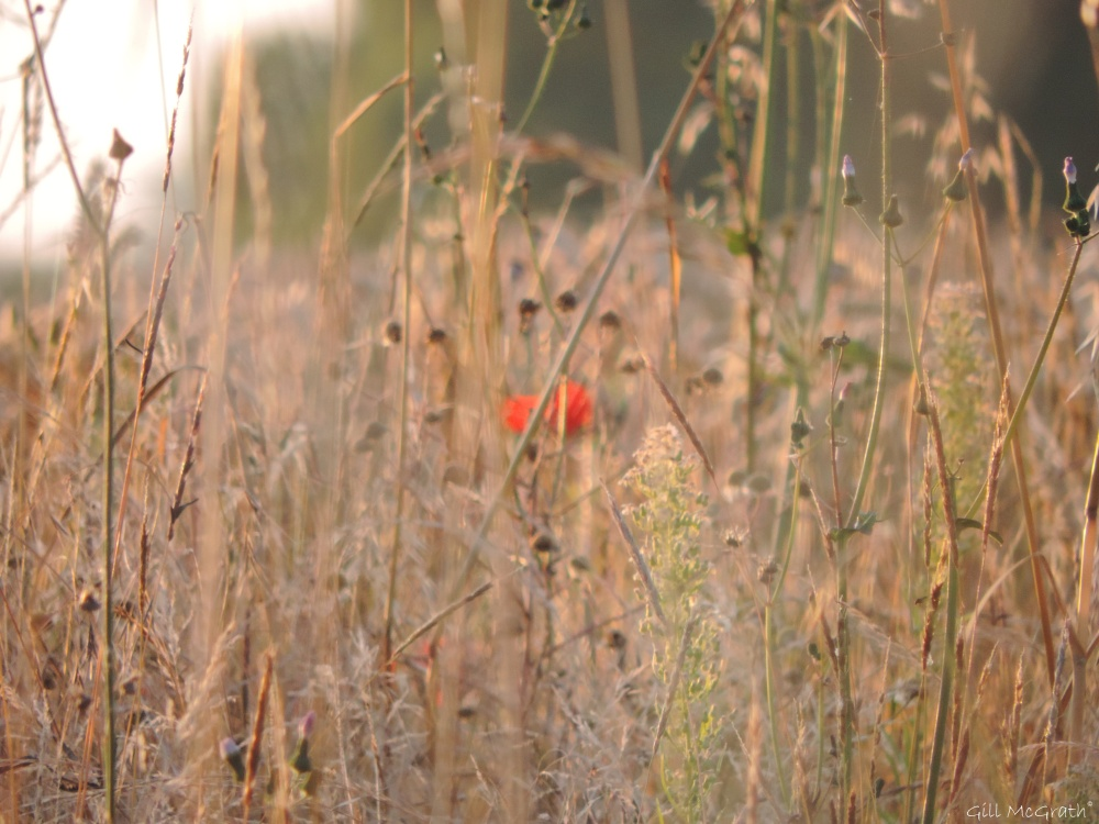 3  2015 08 07 poppy in field DSCN8272 jpg sig